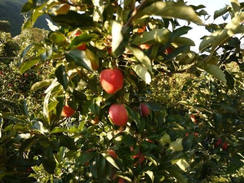 Äpfel, Äpfel und nochmals Äpfel! Bei dieser Tour sehr Ihr mehr Äpfel als in einem gut sortierten Supermarkt. foto (c) kinderoutdoor.de