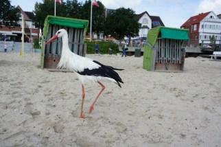 Auf deutschen Inseln wandern mit Kindern: Hier trefft Ihr den Strandstorch von Föhr. foto (c) kinderoutdoor.de