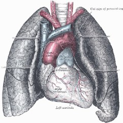 Fetal Pig Diagram With Labels Motorola Cb Radio Wiring Lung - Respiratory Organ, Paired Transport Oxygen, Carbondioxide