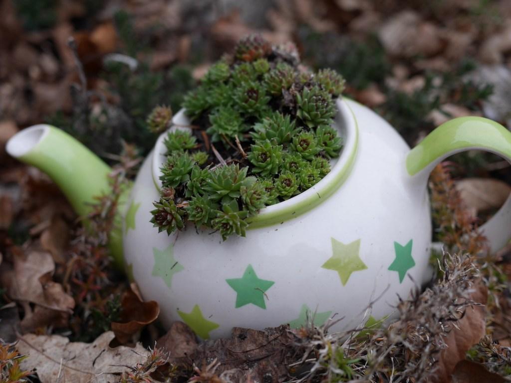 sempervivums teapot Six on Saturday
