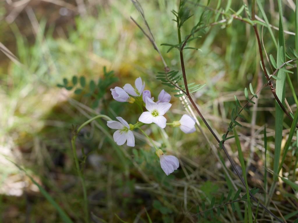 Middleton Lakes Cuckoo flower
