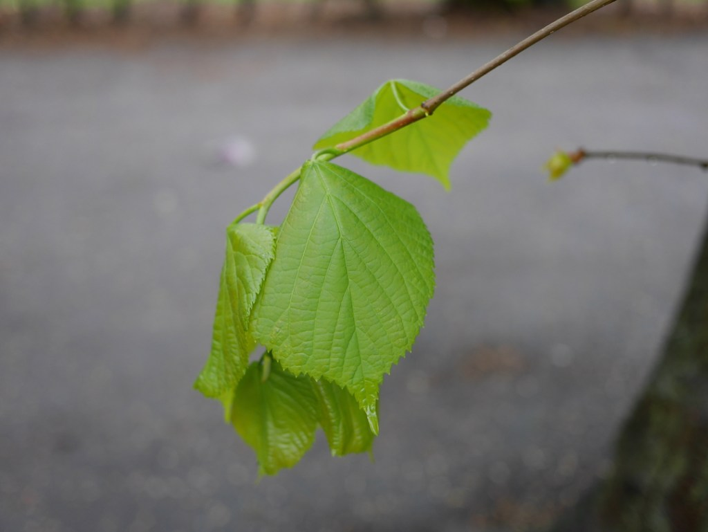 tree following opened buds