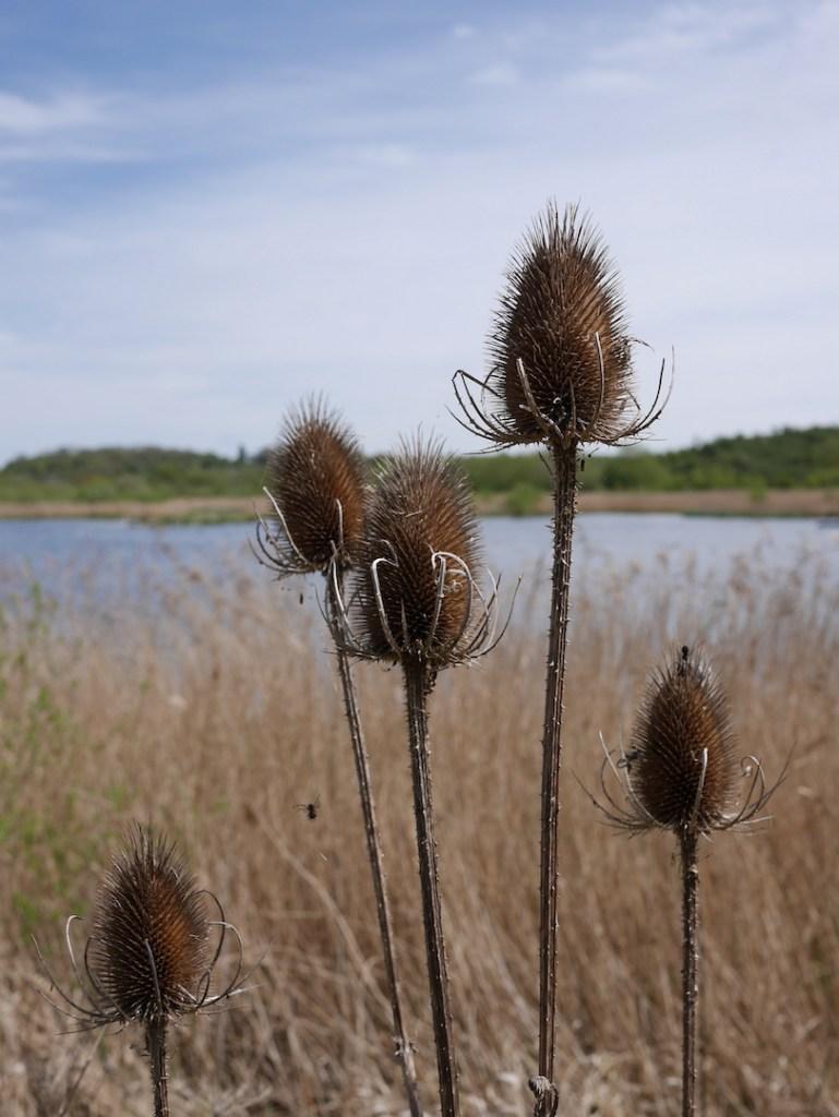 Middleton lakes teasel
