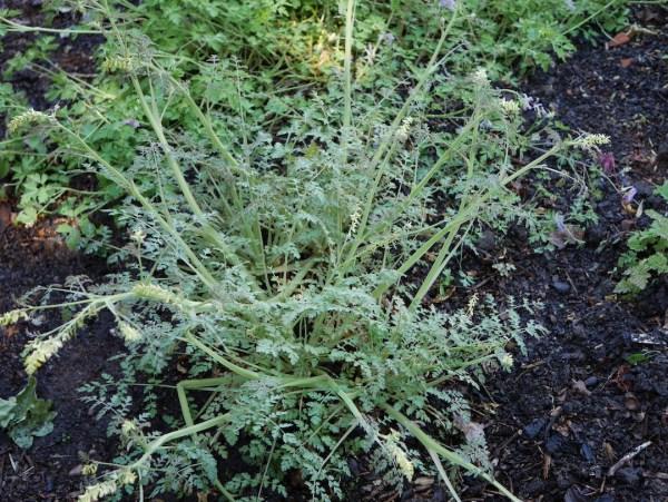Corydalis ophiocarpa