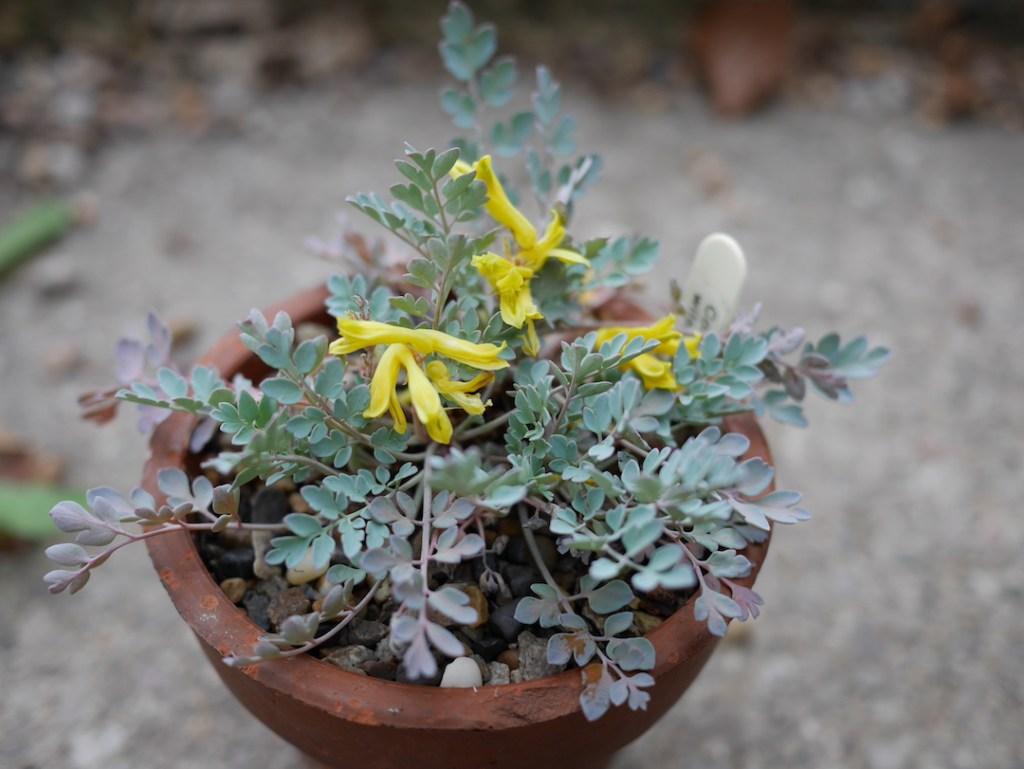 Six on Saturday Corydalis wilsonii