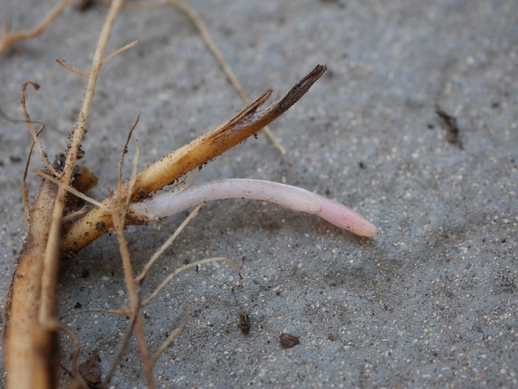 Dicentra formosa root