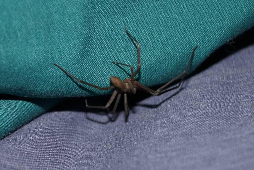 brown recluse ( common house spider )