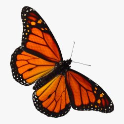Transparent Butterfly Clipart Png Monarch Butterfly Png Transparent Png Download kindpng