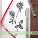 clover botanical illustration