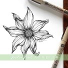 dahlia botanical illustration
