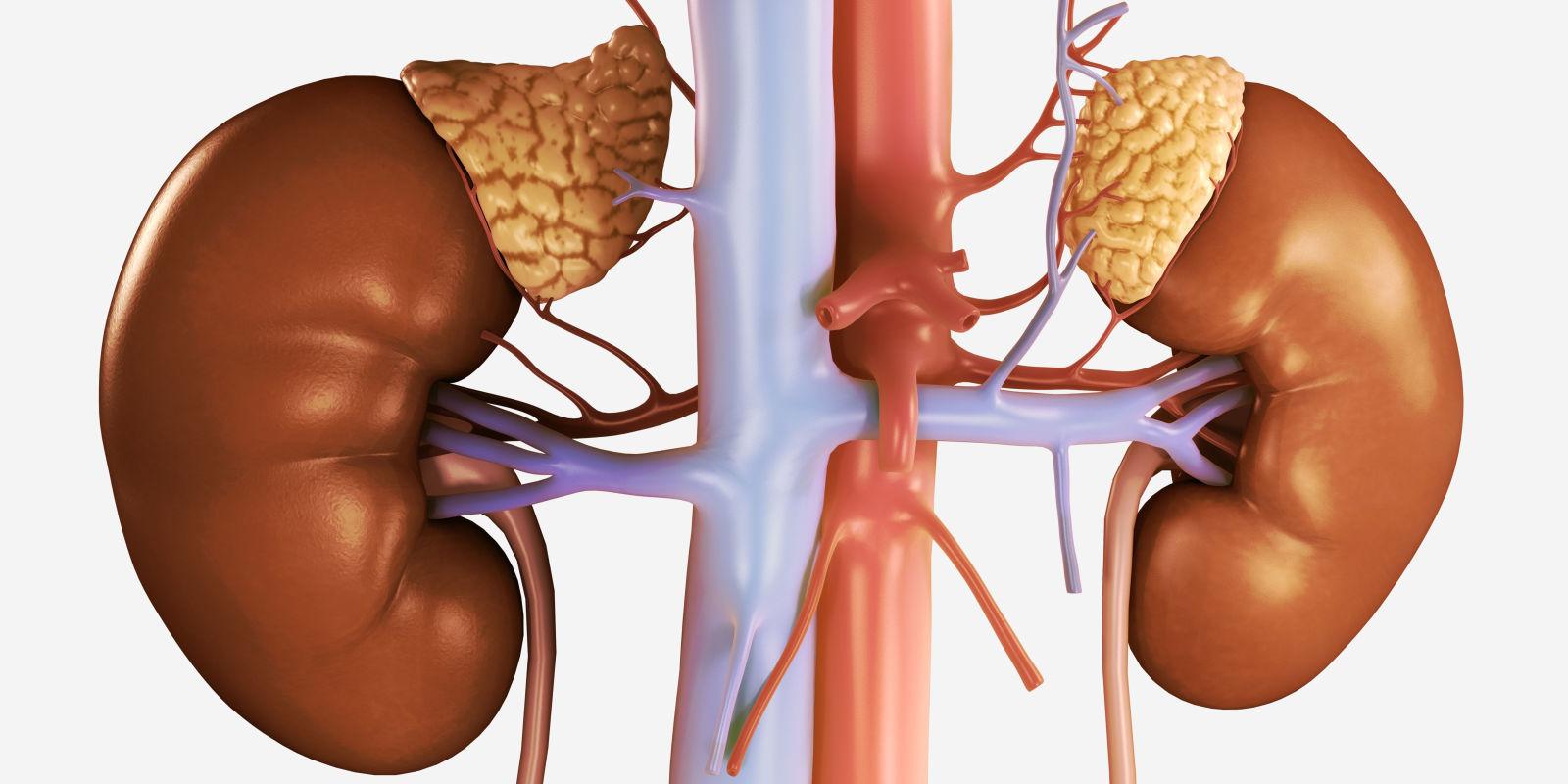 Riñones con sus glándulas suprarrenales, que son las que no producen cortisol en la enfermedad de insuficiencia suprarrenal o adrenal
