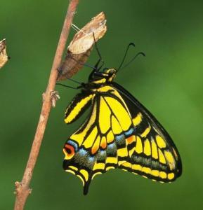 Read more about the article La fierté du papillon