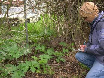 Noxious weed specialists track locations of giant hogweed so they can stop its spread.