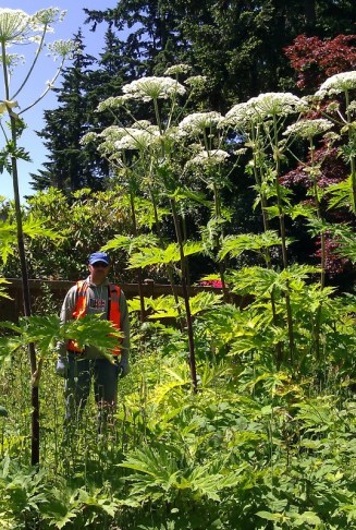 Flowering giant hogweed in a residential backyard