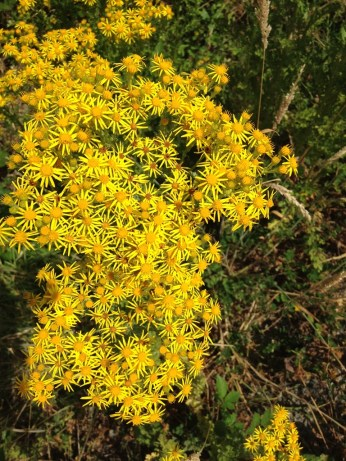 Tansy ragwort flowers are composite type flowers, each have 13 ray petals and yellow-orange centers of disk flowers.