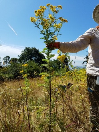 Second year tansy ragwort plants are leafy, tall and topped by small, yellow daisy flowers.