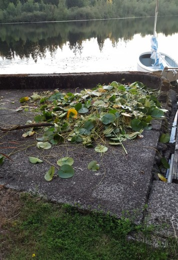 Water lily pads drying on a cement pad before being taken to the yard waste bin. Photo by Holly D'Annunzio.