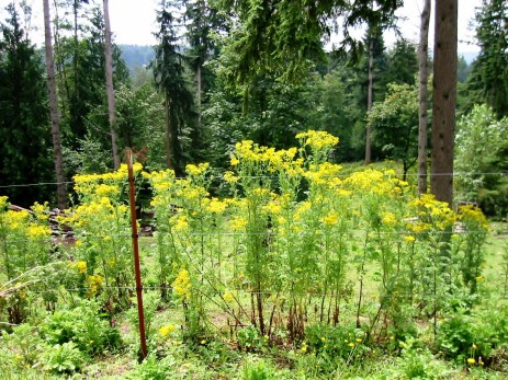 Tansy ragwort often grows in pastures and reaches 6 feet tall.