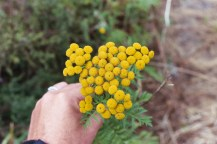 common tansy flowers