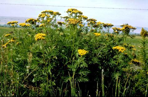 common tansy plants