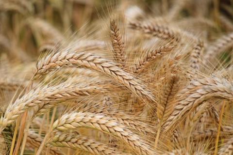 A farm of Wheat ready for harvest_in the post_miracle seed faith