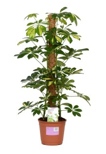 Verve Umbrella Tree In Plastic Pot Departments Diy &