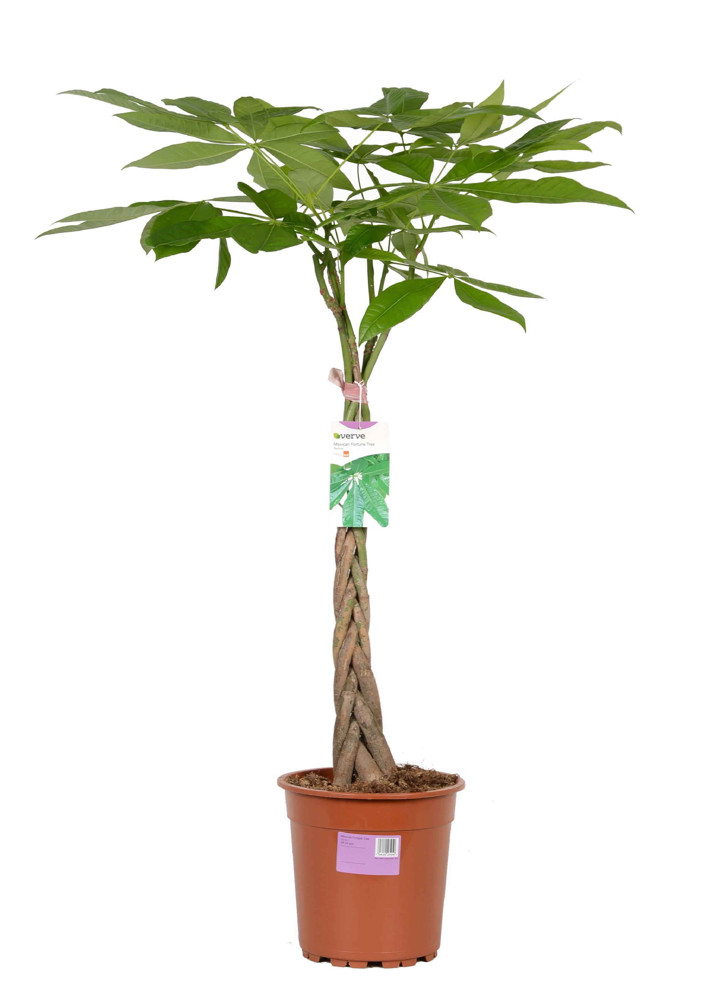 verve mexican fortune tree