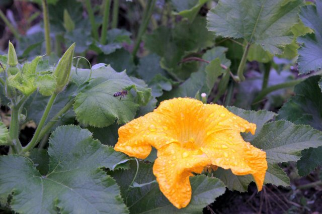 pumpkin-leaves and blossom