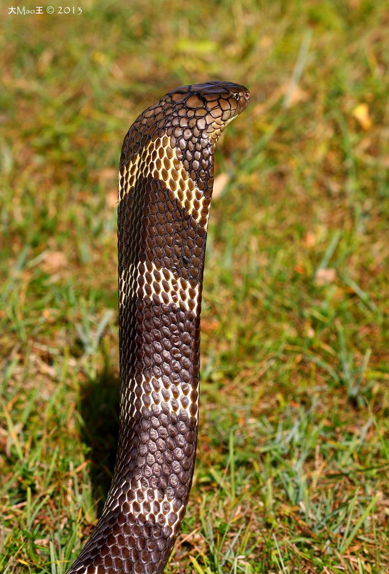 Male King Cobra Ophiophagus Hannah