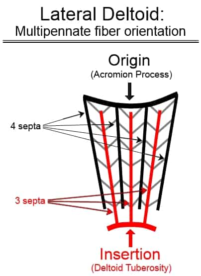 lateral deltoid fiber orientation multipennate