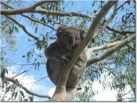 Our resident Koala