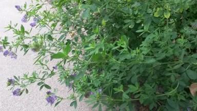 Lucerne - aka Alfalfa (Medicago sativa)