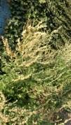 Mugwort (artemisia)?
