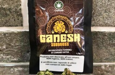 Ganesh seedless by Cannabe