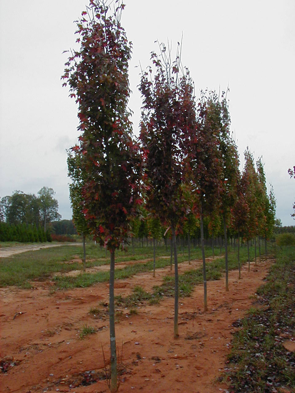 Armstrong Maple