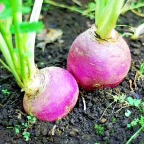growing-turnips