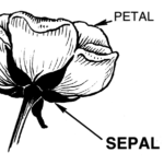 Chef Christy says: Nasturtium sepals are sweet and crunchy!