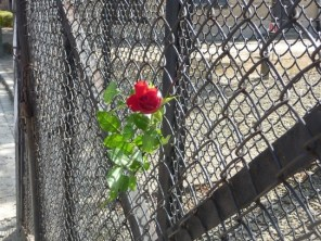A rose left on the Auschwitz main gate.