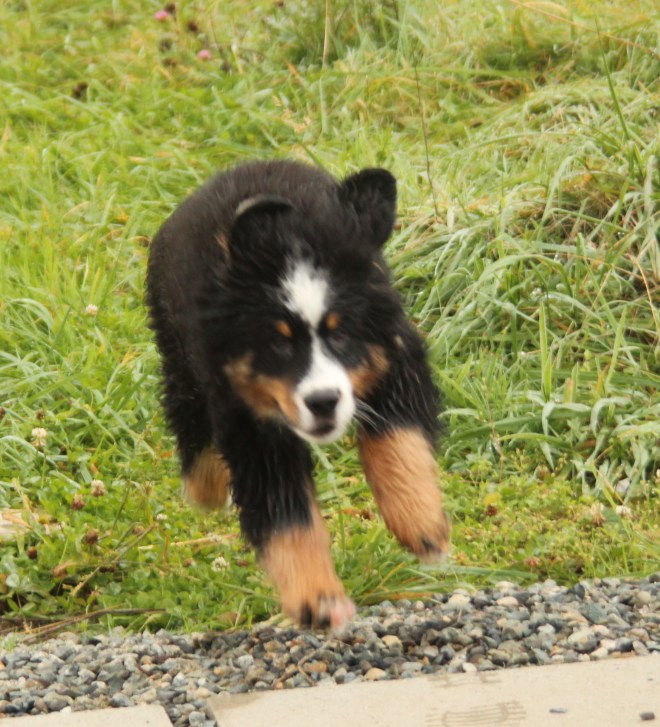 Rusty, my Bernese Mountain Dog puupy