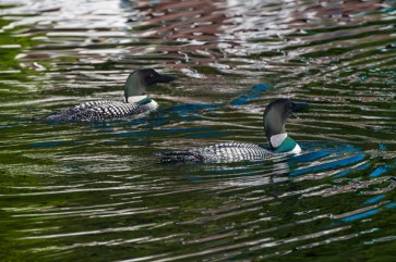We share our lake primarily with a family of loons