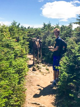A moose on Mt. Moosilauke