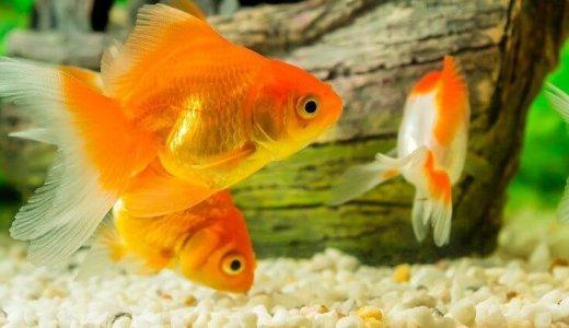 金魚の種類 あなたはどんな金魚がお好みですか。