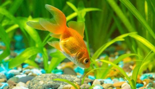 金魚を泳がす水槽を準備しよう!
