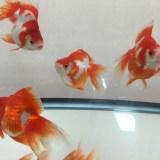 金魚の数を増やしたい!水槽に後から追加するときの注意点を解説