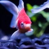 金魚の体に異常、これって病気?小さなコブの正体を解説!