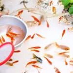 金魚すくいの金魚を長生きさせる飼い方