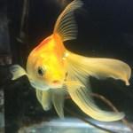 恥ずかしながら、我が家の金魚達を紹介します