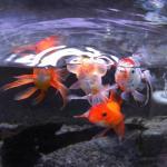 急に金魚を飼うことになった方へ 揃えて置くべきアイテム