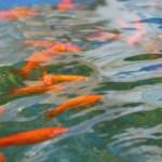 夏は金魚を飼って涼しくなろう! ビオトープのススメ