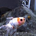 金魚の繁殖をしてみたいと思い早10年